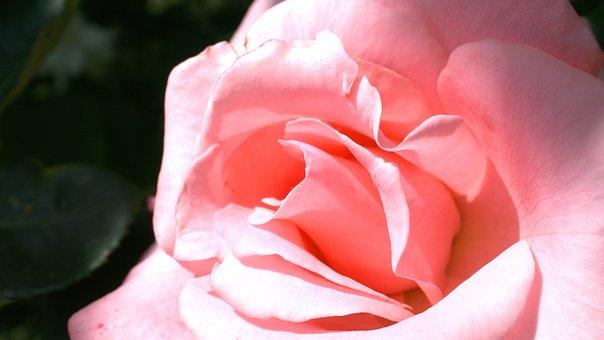 Rose, Flower, Blossom, Bloom, Nature, Pink, Rose Blooms