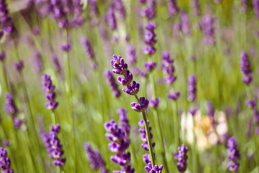 Lavender, Plant, Nature, Flower, Green, Spring, Fern