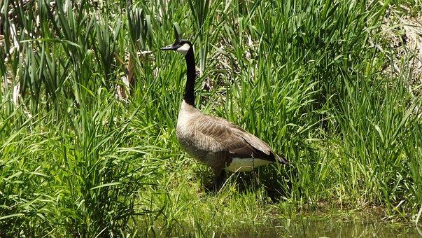 Birds, Bernikla Canadian, Meadow, Grass, Nature