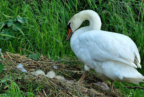 Swan, Nest, Eggs, Spring, Waterfowl, Nature Reserve