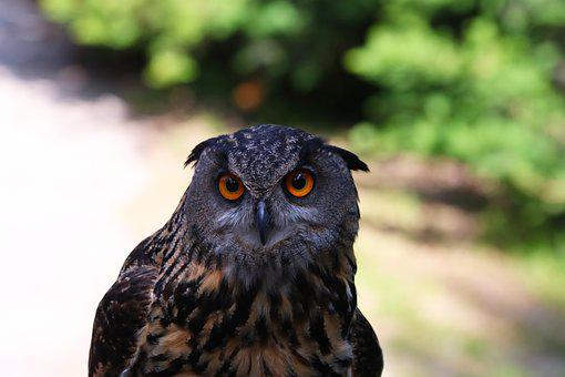 Night Bird, Predator, Beak, Stare, Owl