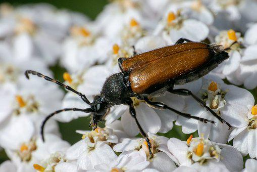 Insect, Blossom, Bloom, Panzer, Macro, Beetle, Spring