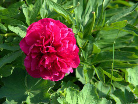 Peony, Flower, Blossom, Bloom, Nature, Pink, Garden