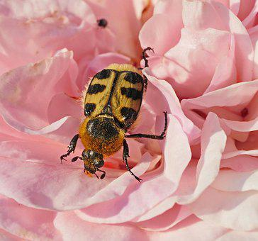 Rose Bloom, Beetle, Yellow Black, Spotted, Petals