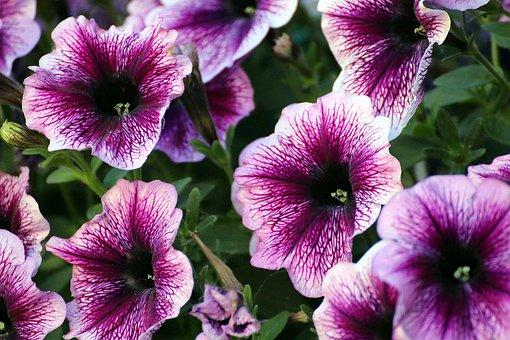 Petunia, Purple, Flowers, Garden Petunia