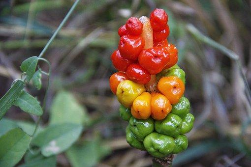 Berry, Forest, Plant, Closeup, Nature, Fruit, Wild