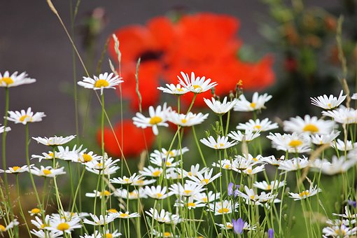 Daisies, Meadow, White, Blossom, Bloom, Plant, Flower