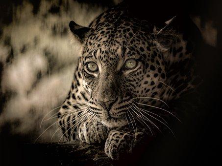 Leopard, Africa, Endangered, Predator, Feline
