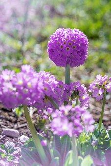 Primrose, Drumstick, Flower, Purple, Purple Flower