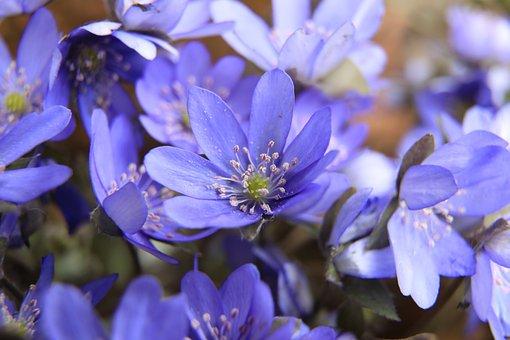 Májvirág, Blue Flower, Purple Flower, Forest Flower