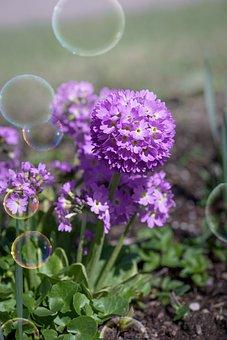 Primrose, Drumstick, Flower, Purple Flower, Purple