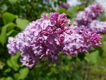 Lilac, Lilac Bush, Flowers, Purple, Tree, Nature