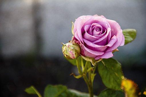 Rose, Purple, Tender Rose, Flowers, Roses, One Rose