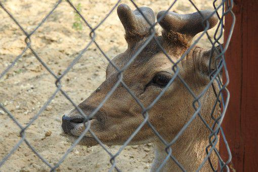 Sarna, Zoo, The Deer, Animal, Animals, Cervidae, Nature