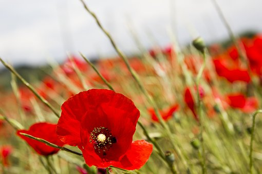 Red Poppy, Spain, Madrid, Wild Flower, Nature, Sky