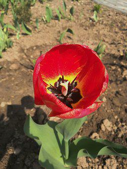 Tulip, Spring, Flowers, Spring Flowers, Handsomely
