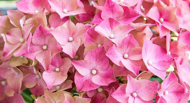Hydrangea, Flower, Flowers, Pink, Plant, Bloom, Summer