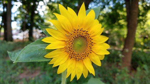 Flower, Sunflower, Green, Leaf, Light, Nature, Petal