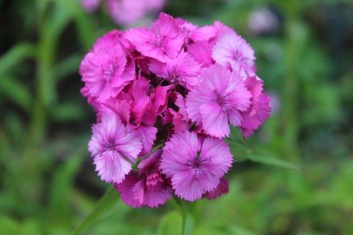Sweet William, Carnation, Purple, Pink