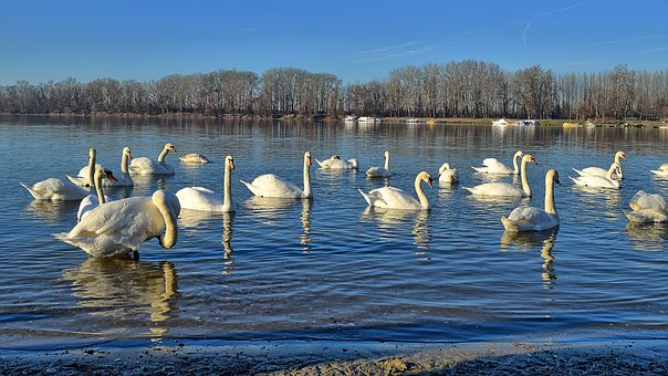 Swans, Protected Nature Park, The Danube River