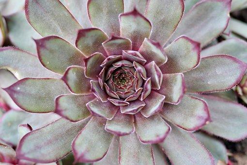 Plant, Echeveria, Thick Sheet Greenhouse