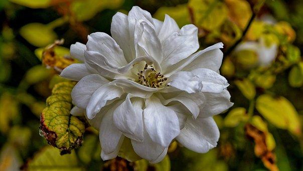 Rose, White, Single, White Rose, Flower, Love, Nature
