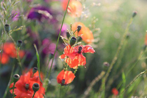 Poppy, Wildflower, Flower, Field, Meadow, Purple Flower