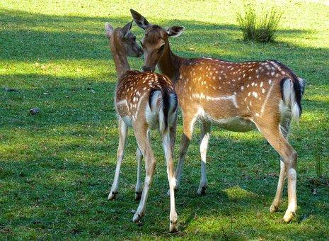 Animal World, Hirsch, Doe, Fallow Deer, Kitz
