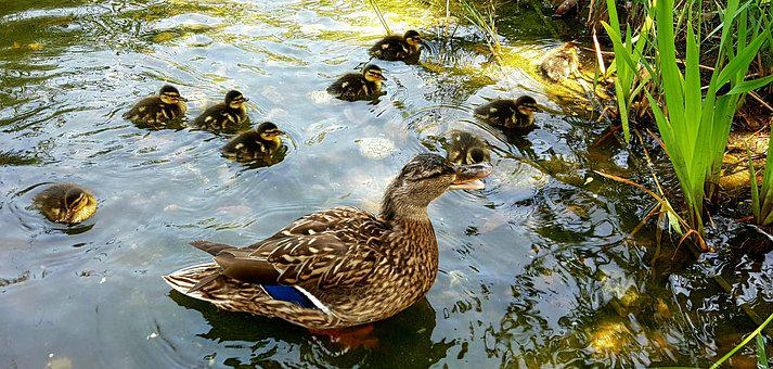 Duck, Mallard, Ducklings, Animals, Birds, Animal World