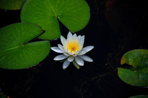 Water Lilies, Aquatic Plants, Flowers, Pond, Plants