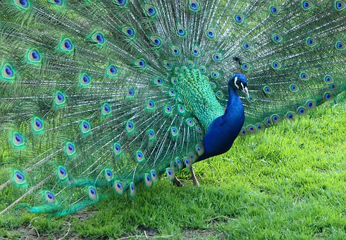 Peacock, Colors, Birds, Feathers, Animal, Blue, Pride