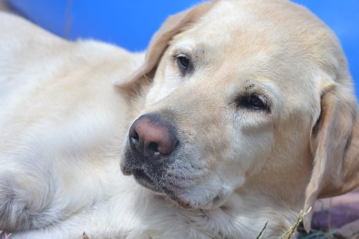 Labrador, Chill Out, Summer, Blond