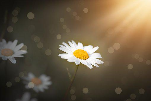 Daisies, Flowers, White, White Flowers, Blossom, Bloom