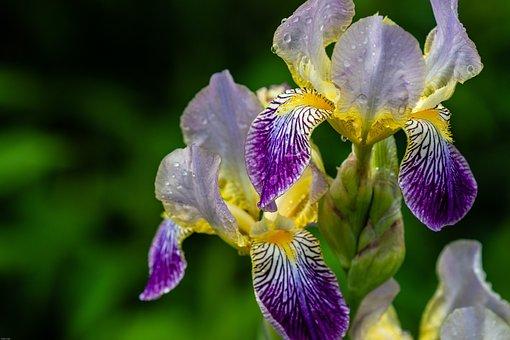 Iris, Raindrop, Wet, Blue Blossom, Blue, Nature, Flower