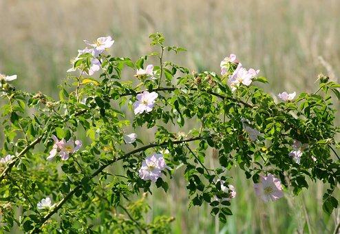 Wild Rose, Bush, Rose Petals, Pink, Flowering, Nature