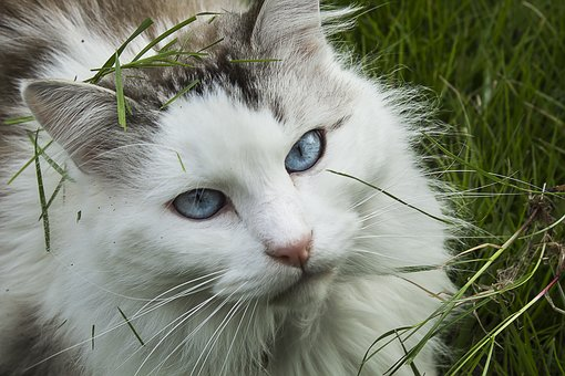 Cat, Feline, European Cat, Blue Eyes, Domestic Animal