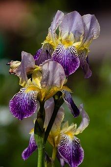 Iris, Blue Blossom, Blue, Nature, Flower, Plant, Close