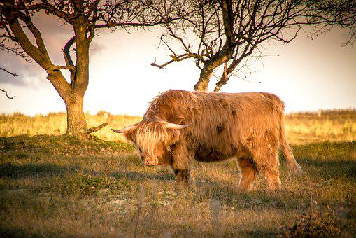Animals, Cow, Agriculture, Horns, Beef, Cattle, Shaggy
