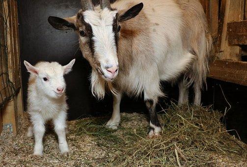 Goat, Culture, Kid, Newborn, Cute, The Horns, White