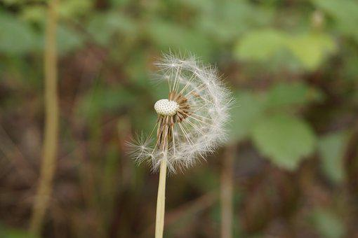Dandelion, Common Dandelion, Taraxacum, Dandelion Seeds