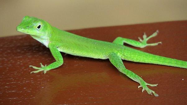 Gecko, Green, Green Gecko, Lizard, Day Gecko, Animal
