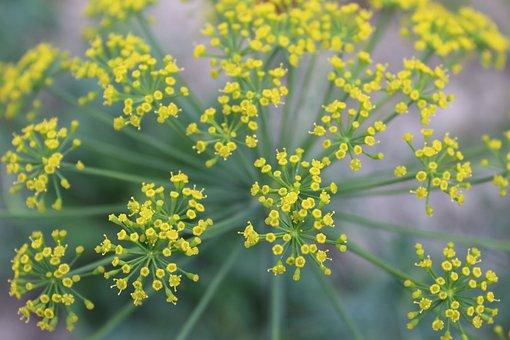 Dill, Plant, Flower, Closeup, Green, Umbrella Dill
