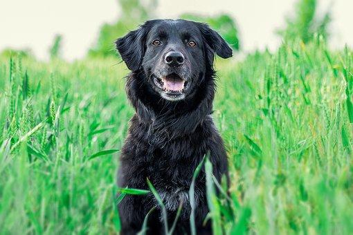 Dog, Retriever, Golden Retriever, Big Dog, Pet