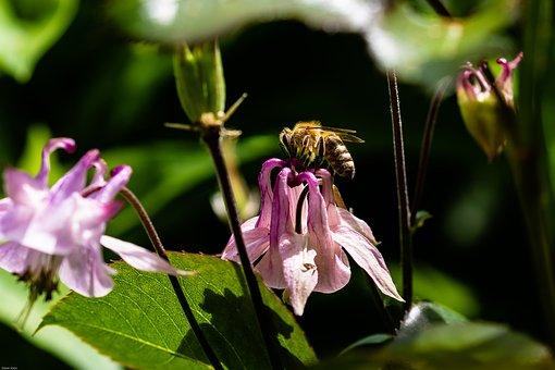 Columbine, Flower, Bee, Blossom, Bloom, Flora