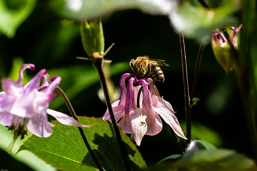Columbine, Flower, Bee, Blossom, Bloom, Flora