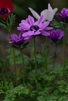 Anemone, Crown Anemone, Flower, Purple, Purple Flower