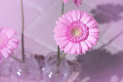 Marguerite, Pink, Pink Daisy, Flower, Pink Flower