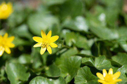 Celandine, Flower, Yellow, Yellow Flower, Flowers