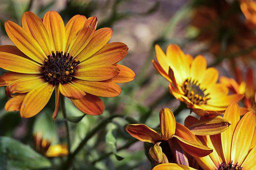 Daisy, Orange Daisy, Orange Flower, Flower, Flowers