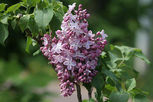 Lilac, Spring, Summer, Beauty, Bush, Flowers